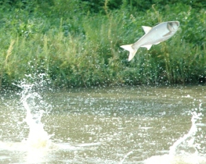 creditTedLawrence-GLFC_close-up-flying-carp